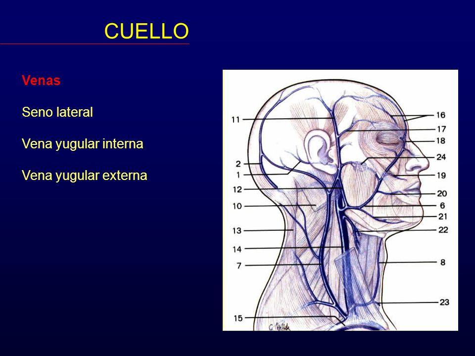 CUELLO Venas Seno lateral Vena yugular interna Vena yugular externa