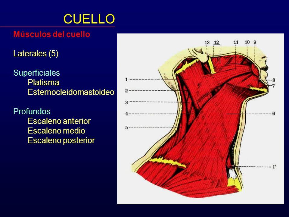 CUELLO Músculos del cuello Laterales (5) Superficiales Platisma