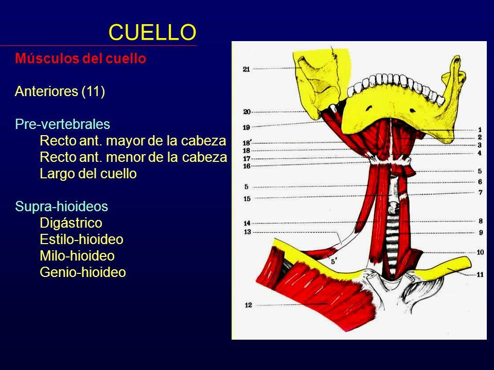 CUELLO Músculos del cuello Anteriores (11) Pre-vertebrales