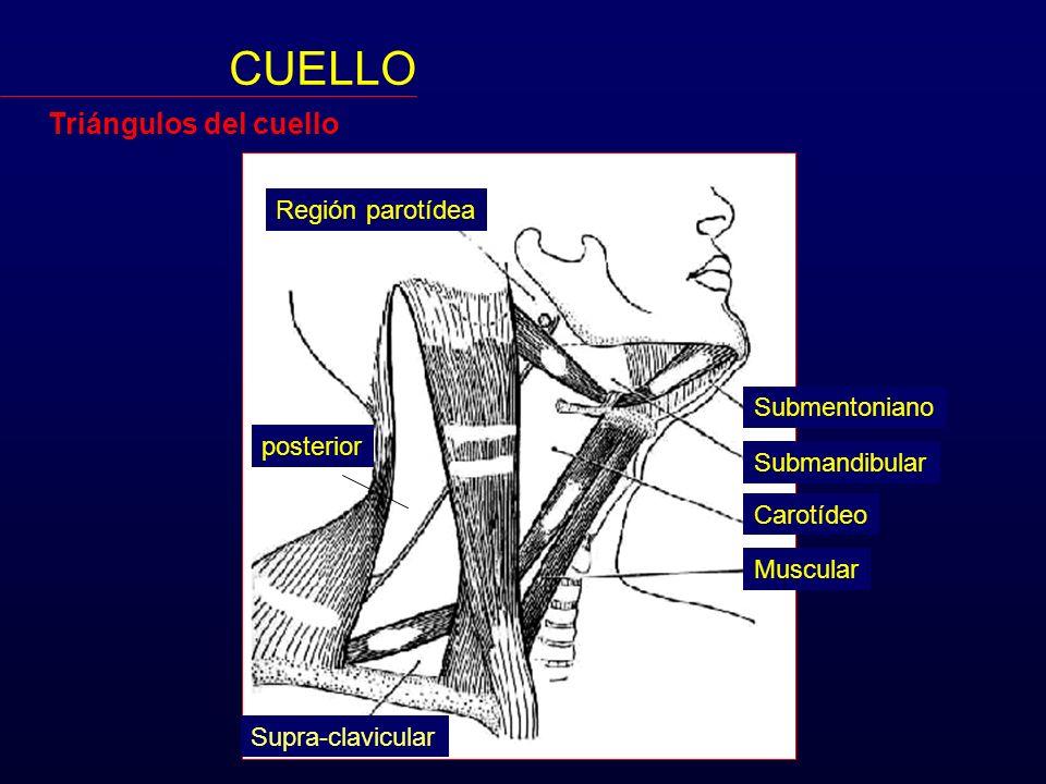 CUELLO Triángulos del cuello Región parotídea Submentoniano posterior