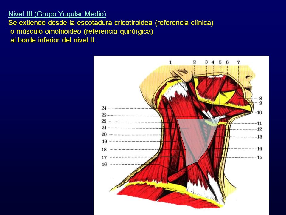 Nivel III (Grupo Yugular Medio)