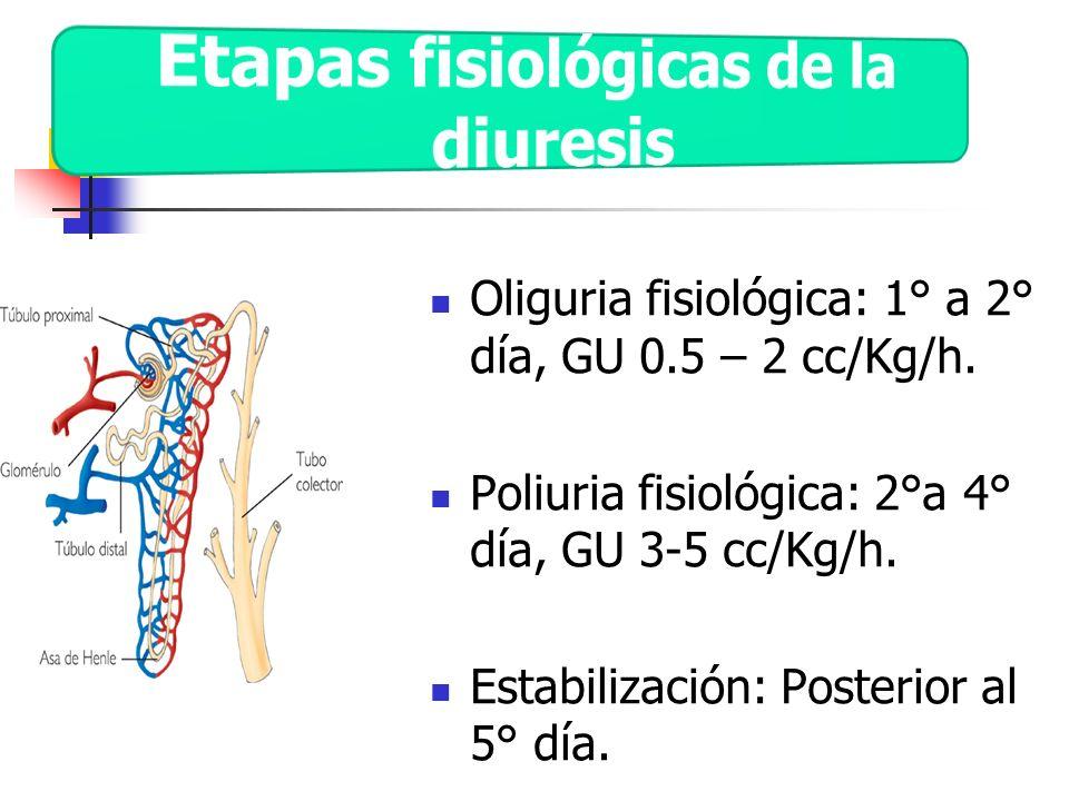 Etapas fisiológicas de la diuresis