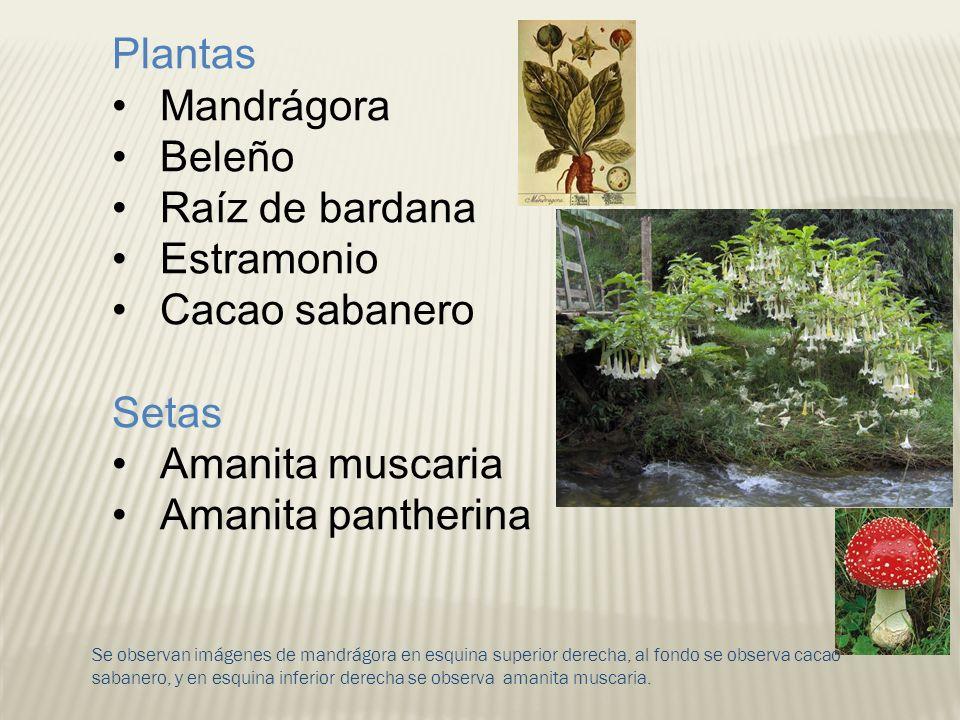 Plantas Mandrágora Beleño Raíz de bardana Estramonio Cacao sabanero