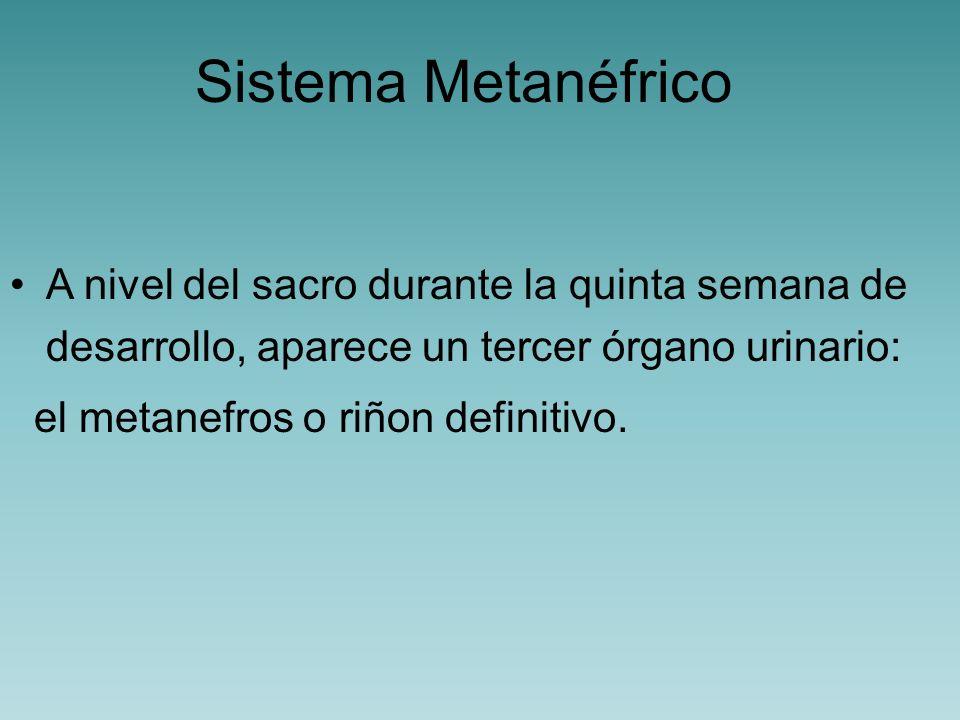Sistema Metanéfrico A nivel del sacro durante la quinta semana de desarrollo, aparece un tercer órgano urinario: