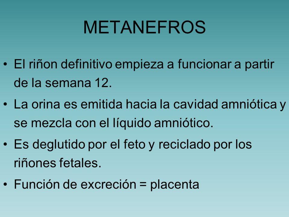 METANEFROS El riñon definitivo empieza a funcionar a partir de la semana 12.