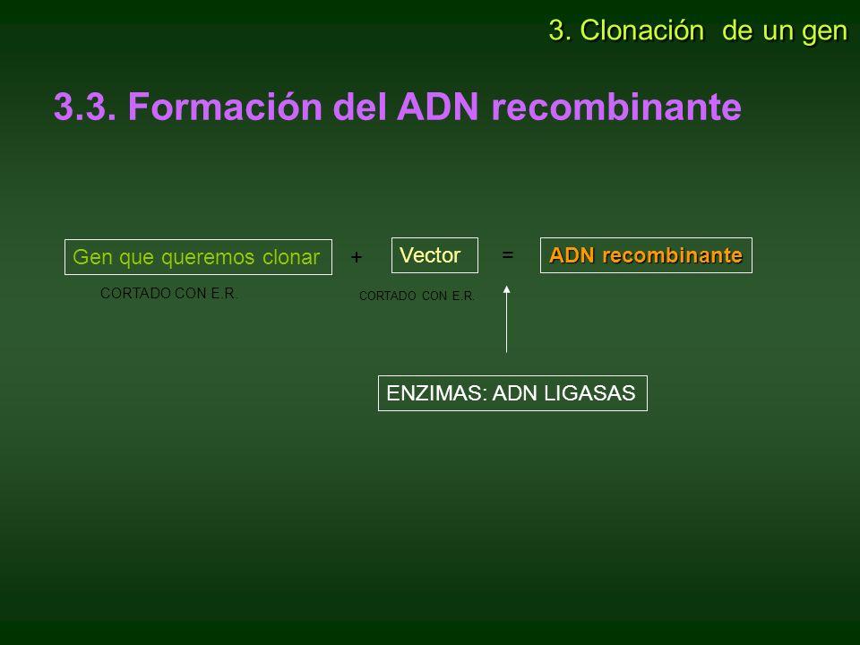 3.3. Formación del ADN recombinante