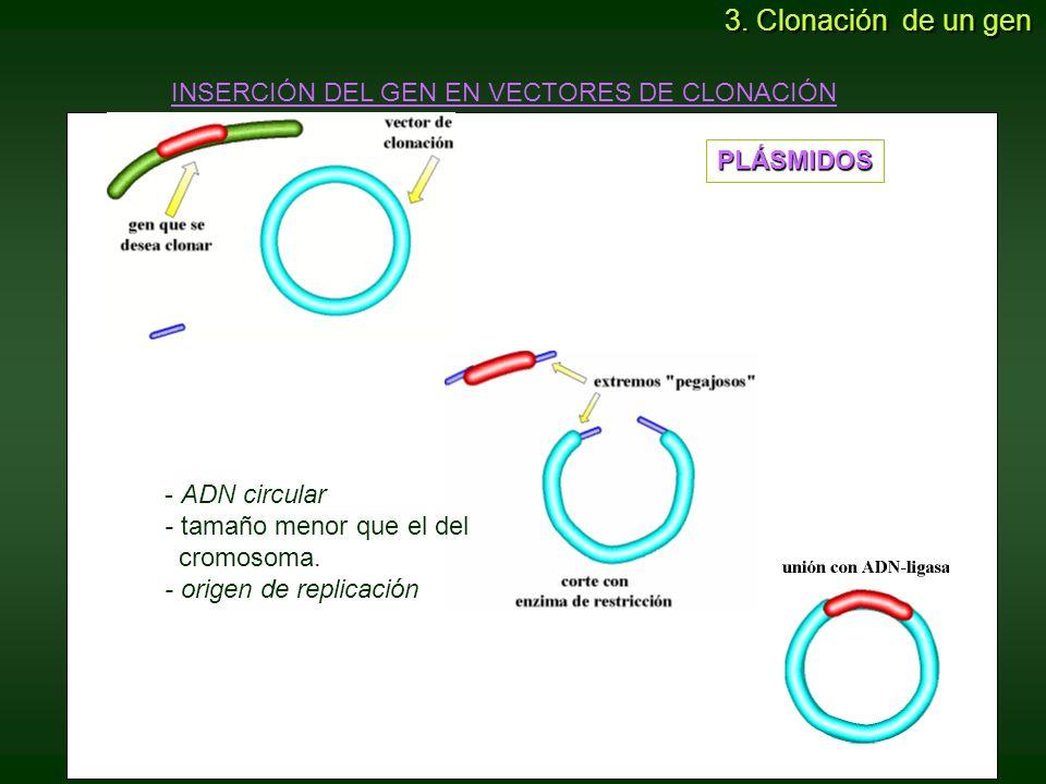3. Clonación de un gen INSERCIÓN DEL GEN EN VECTORES DE CLONACIÓN