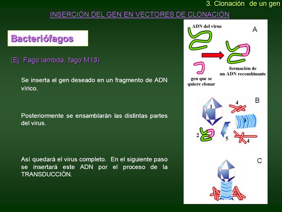 Se inserta el gen deseado en un fragmento de ADN vírico.