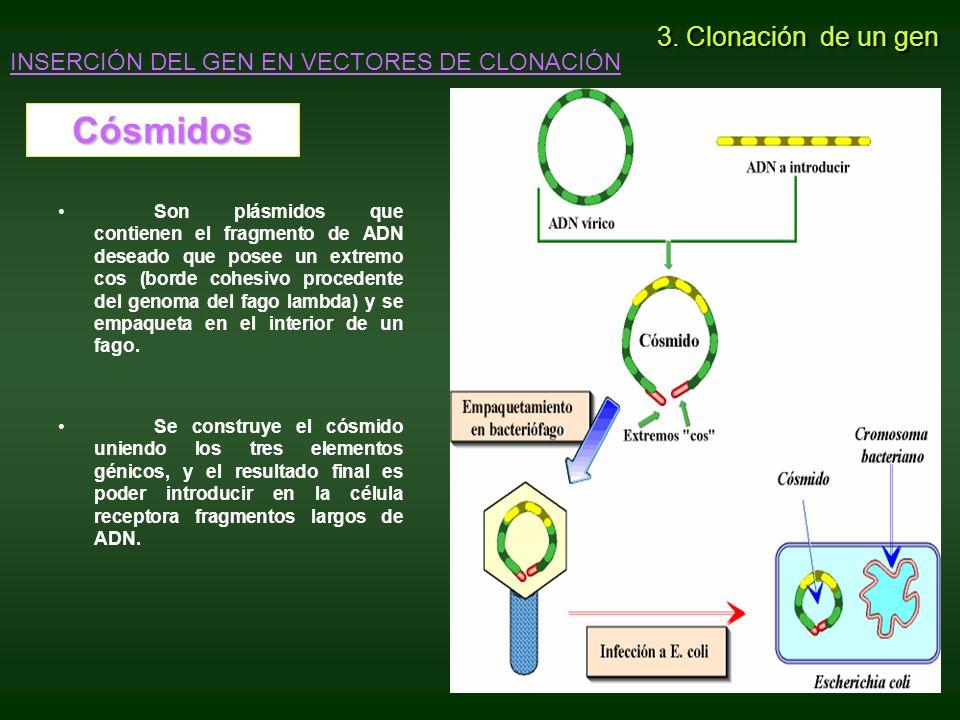 Cósmidos 3. Clonación de un gen