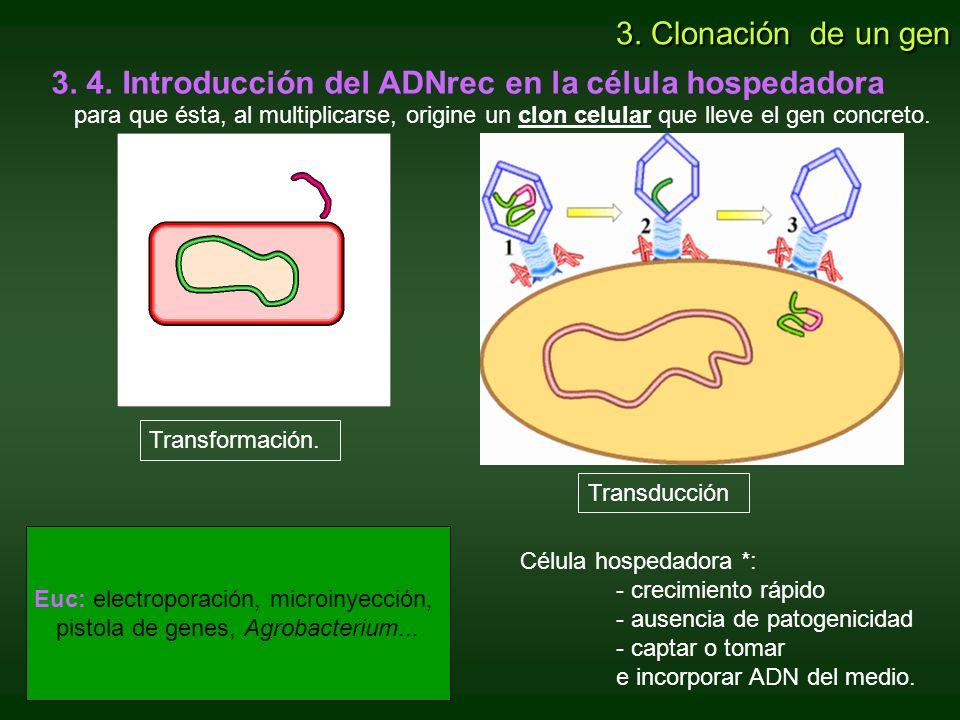 3. 4. Introducción del ADNrec en la célula hospedadora