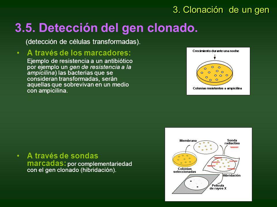 3.5. Detección del gen clonado.