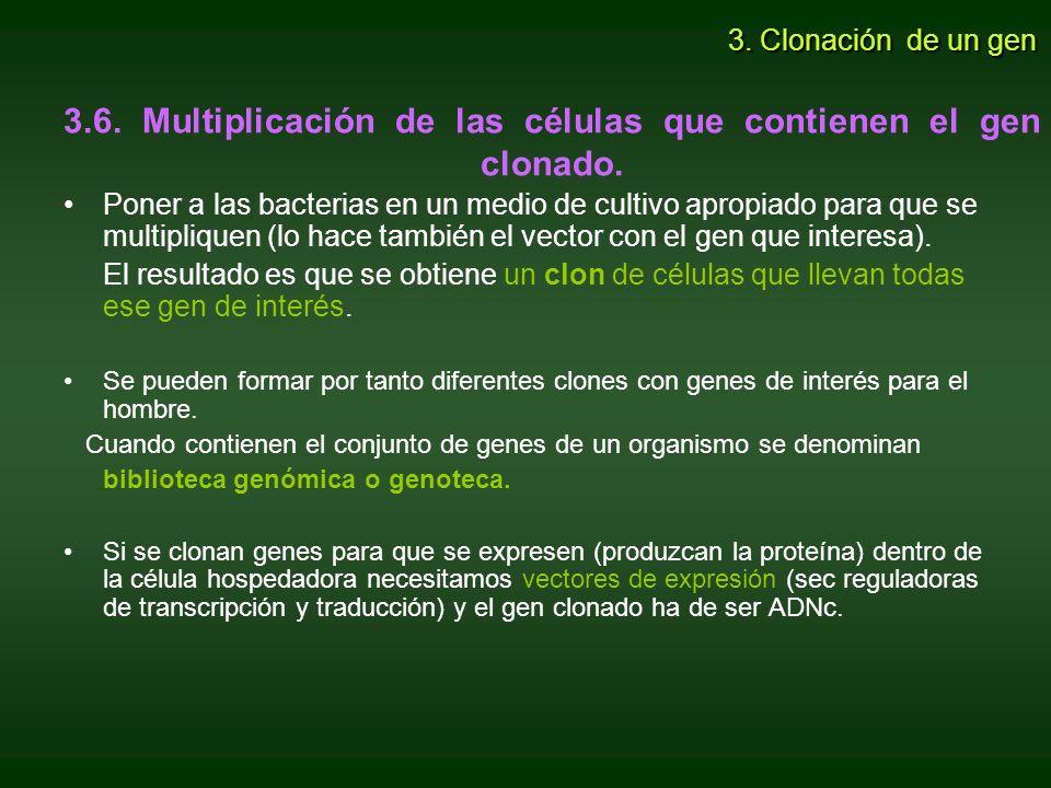 3.6. Multiplicación de las células que contienen el gen clonado.