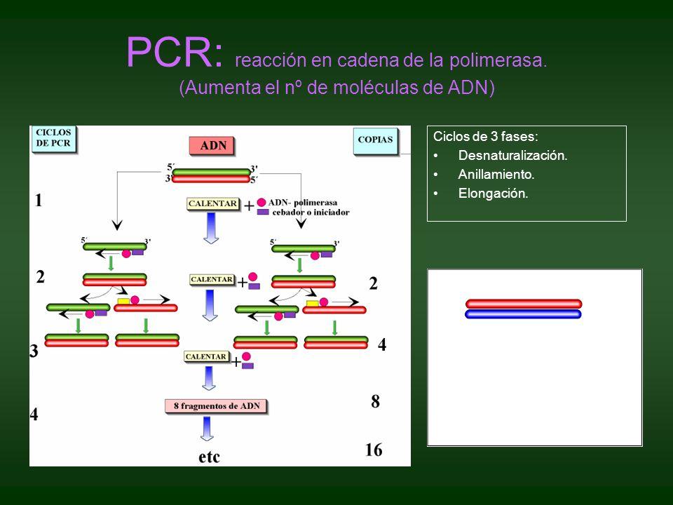 PCR: reacción en cadena de la polimerasa