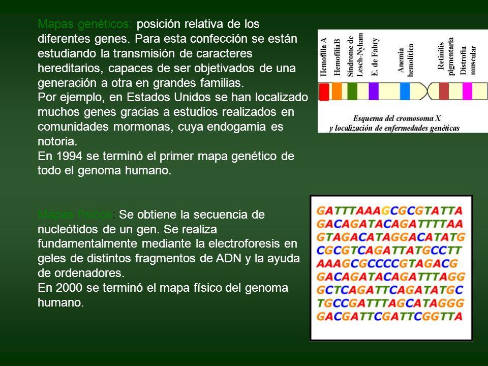 Mapas genéticos: posición relativa de los diferentes genes