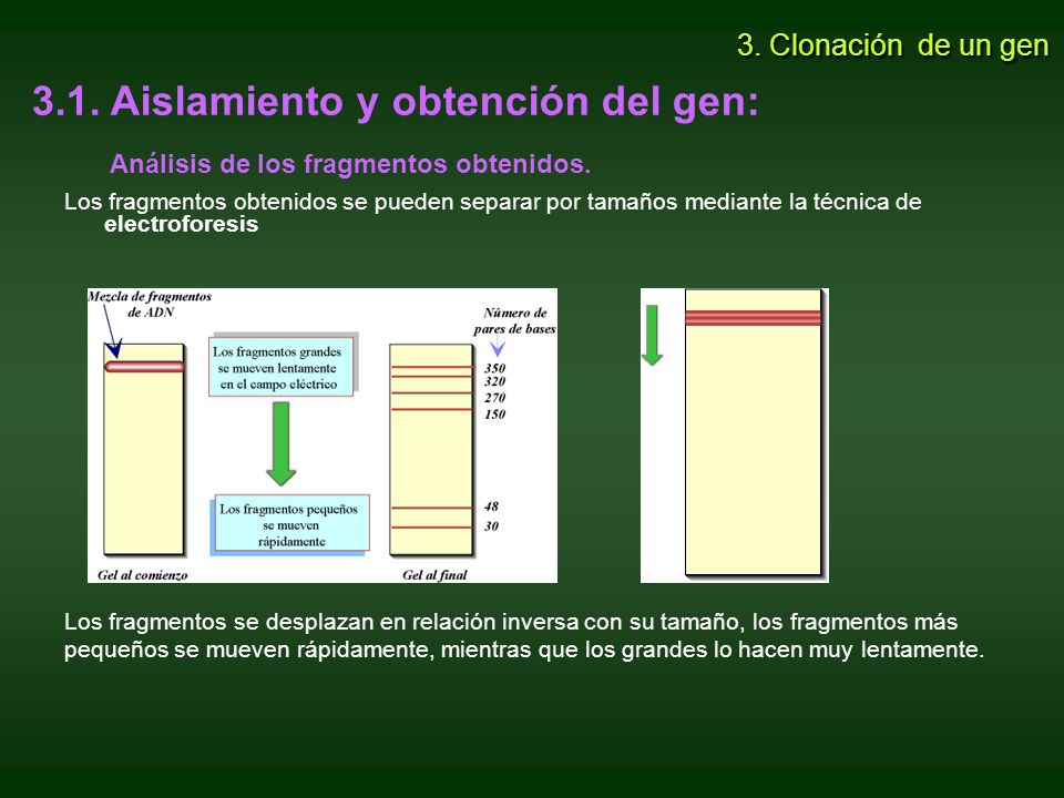 3.1. Aislamiento y obtención del gen: