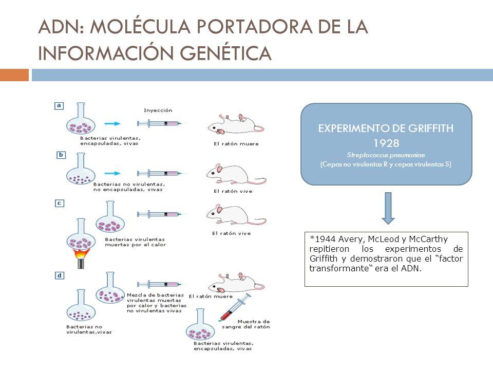 ADN: MOLÉCULA PORTADORA DE LA INFORMACIÓN GENÉTICA