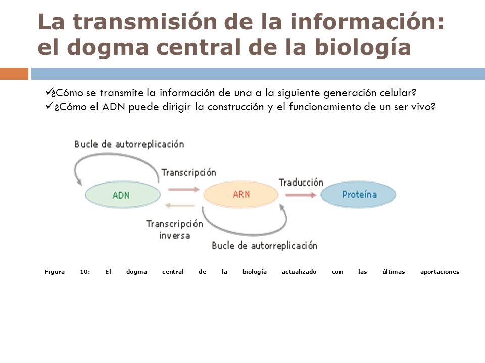 La transmisión de la información: el dogma central de la biología