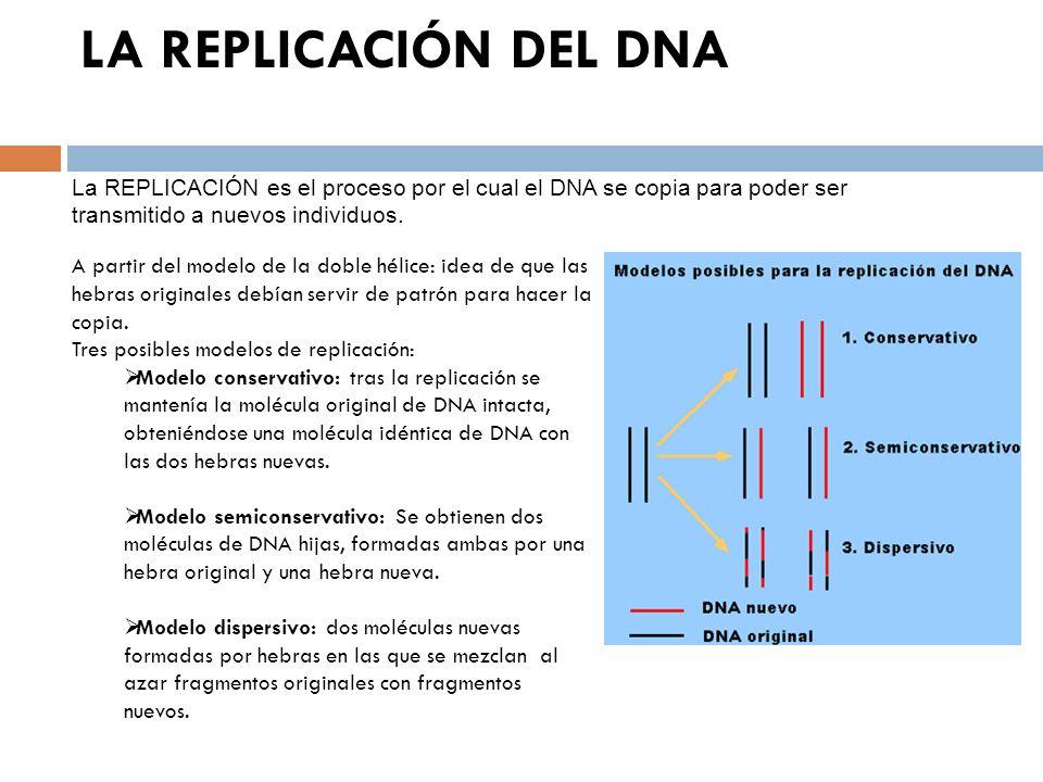 LA REPLICACIÓN DEL DNA La REPLICACIÓN es el proceso por el cual el DNA se copia para poder ser transmitido a nuevos individuos.