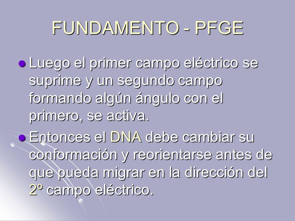 FUNDAMENTO - PFGE Luego el primer campo eléctrico se suprime y un segundo campo formando algún ángulo con el primero, se activa.