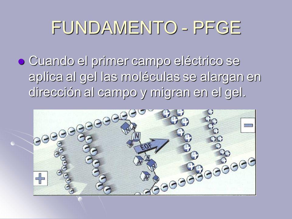 FUNDAMENTO - PFGE Cuando el primer campo eléctrico se aplica al gel las moléculas se alargan en dirección al campo y migran en el gel.