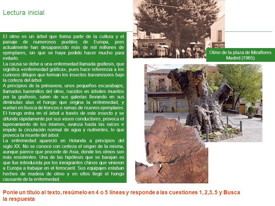 Olmo de la plaza de Miraflores