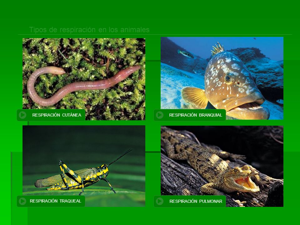 Tipos de respiración en los animales