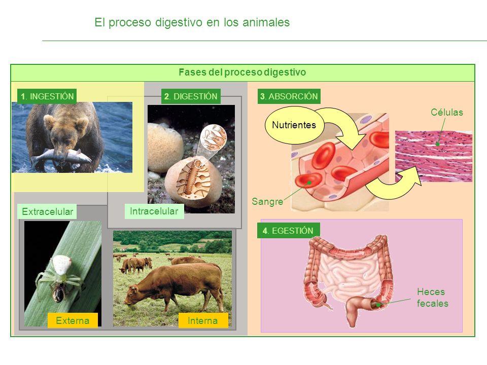 Fases del proceso digestivo