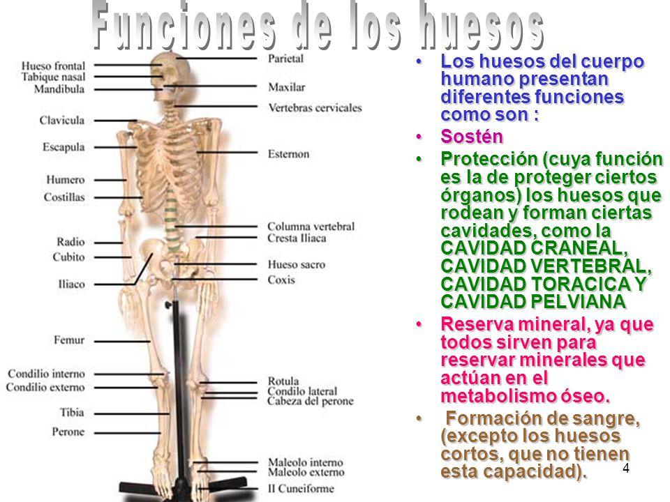 Funciones de los huesos