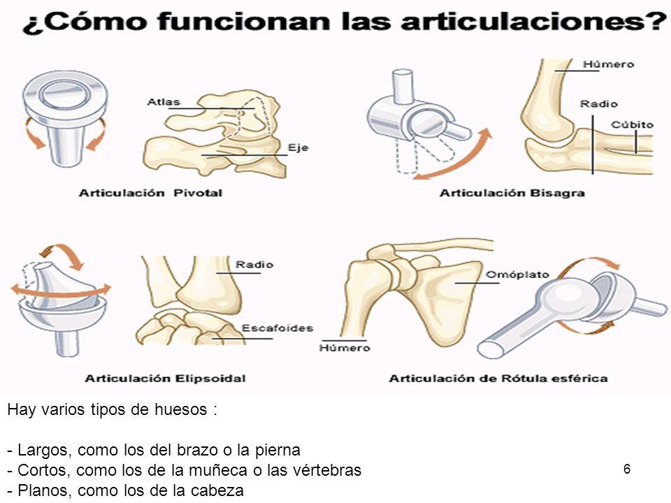 Hay varios tipos de huesos :