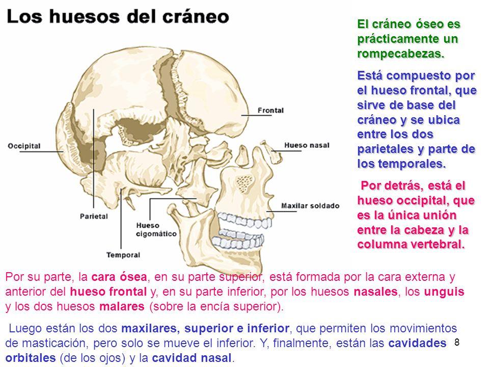 El cráneo óseo es prácticamente un rompecabezas.