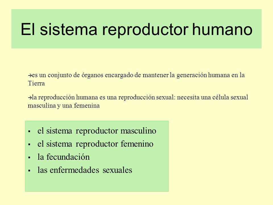 El sistema reproductor humano