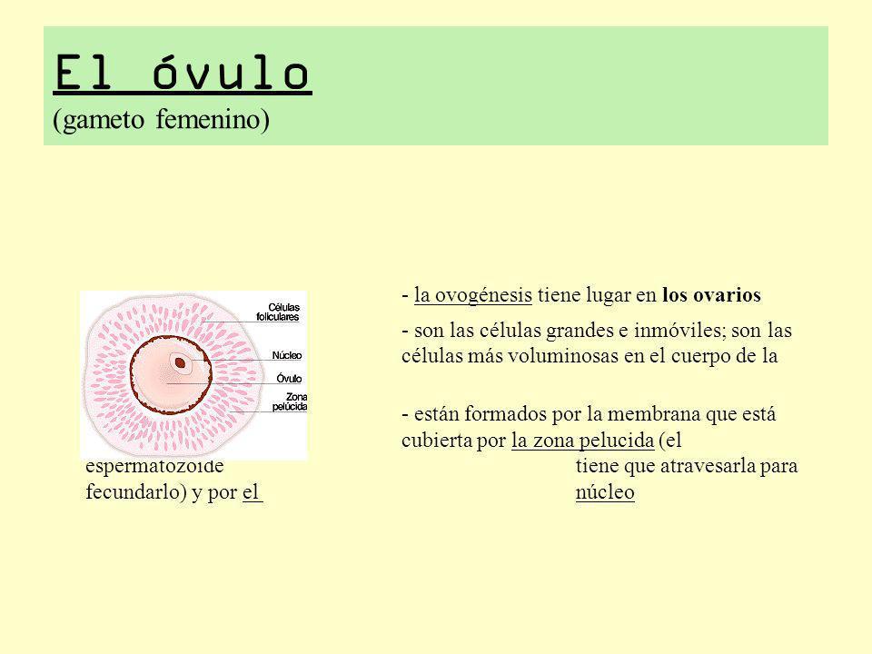 El óvulo (gameto femenino)