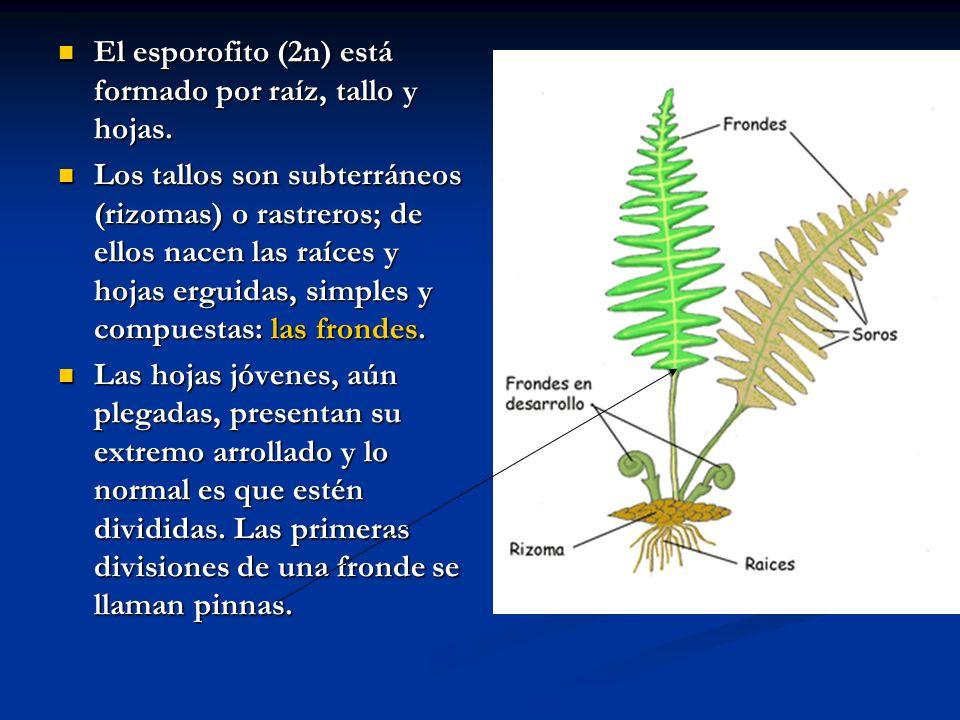 El esporofito (2n) está formado por raíz, tallo y hojas.