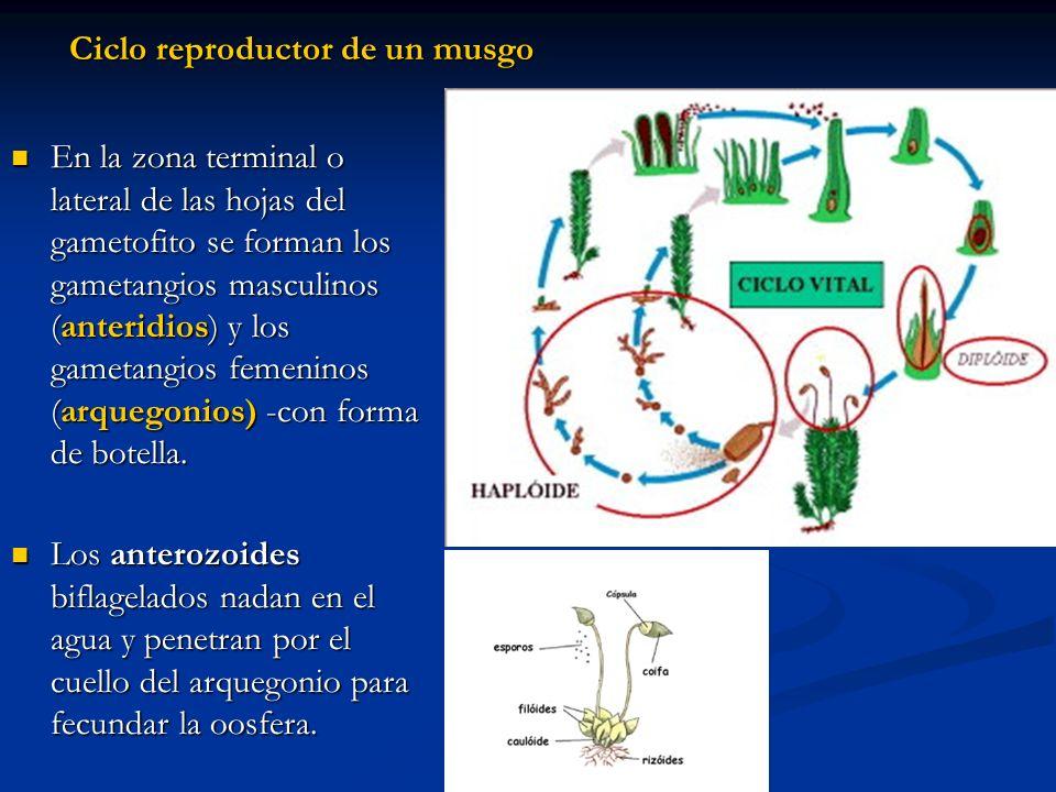Ciclo reproductor de un musgo