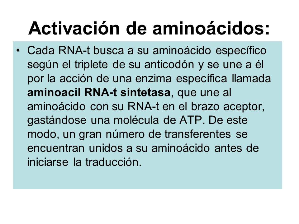 Activación de aminoácidos: