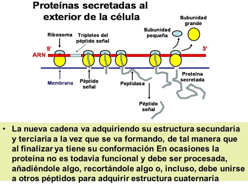 La nueva cadena va adquiriendo su estructura secundaria y terciaria a la vez que se va formando, de tal manera que al finalizar ya tiene su conformación En ocasiones la proteína no es todavía funcional y debe ser procesada, añadiéndole algo, recortándole algo o, incluso, debe unirse a otros péptidos para adquirir estructura cuaternaria