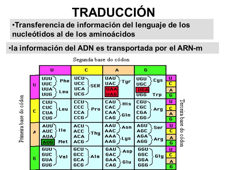 TRADUCCIÓN Transferencia de información del lenguaje de los nucleótidos al de los aminoácidos.