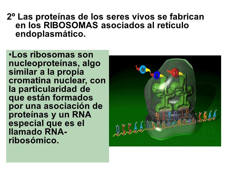 2º Las proteínas de los seres vivos se fabrican en los RIBOSOMAS asociados al retículo endoplasmático.