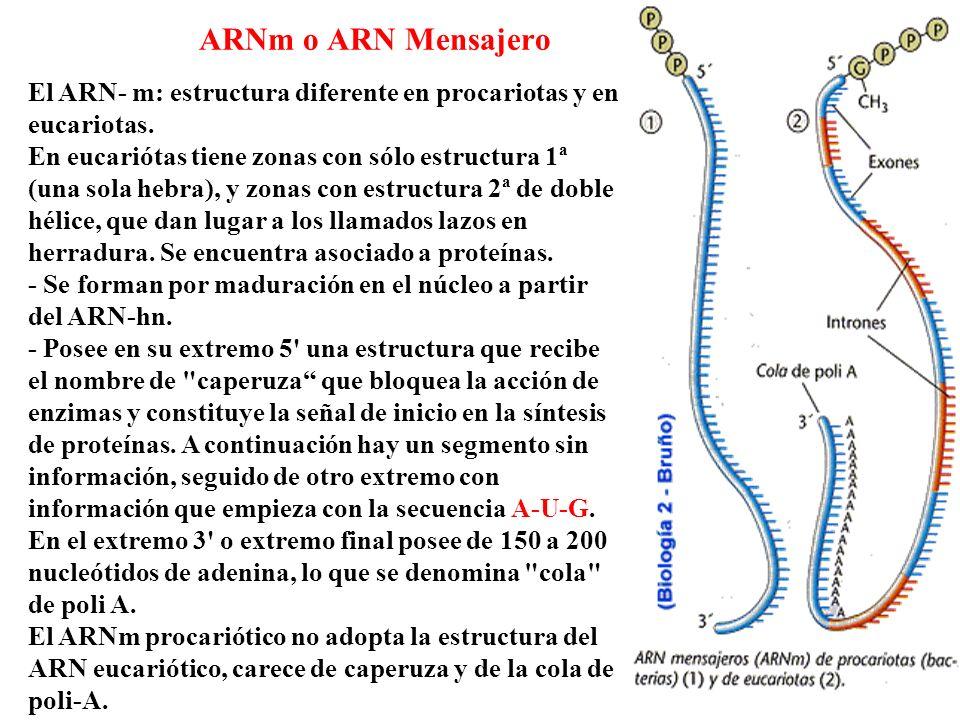 ARNm o ARN Mensajero