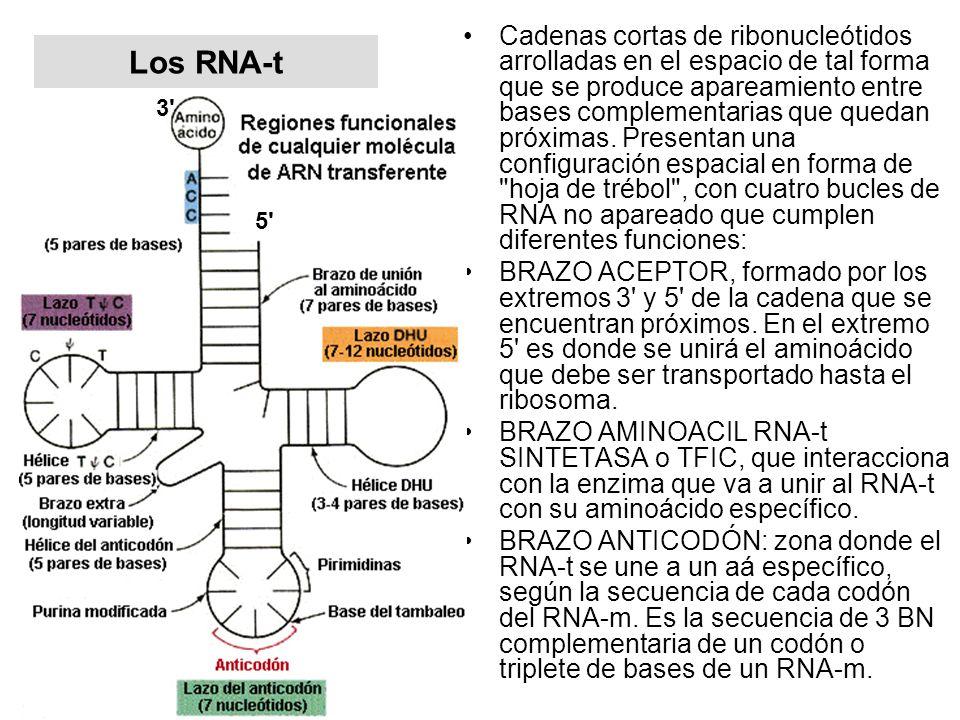 Cadenas cortas de ribonucleótidos arrolladas en el espacio de tal forma que se produce apareamiento entre bases complementarias que quedan próximas. Presentan una configuración espacial en forma de hoja de trébol , con cuatro bucles de RNA no apareado que cumplen diferentes funciones: