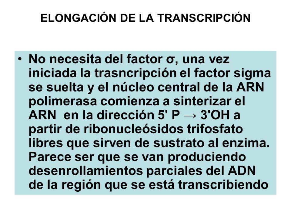 ELONGACIÓN DE LA TRANSCRIPCIÓN