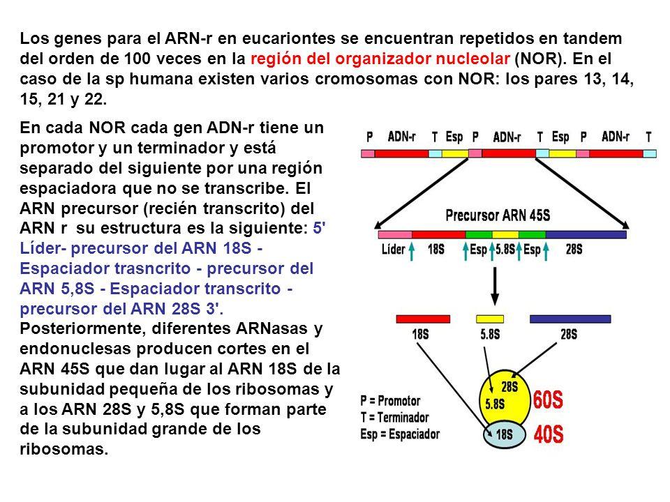 Los genes para el ARN-r en eucariontes se encuentran repetidos en tandem del orden de 100 veces en la región del organizador nucleolar (NOR). En el caso de la sp humana existen varios cromosomas con NOR: los pares 13, 14, 15, 21 y 22.