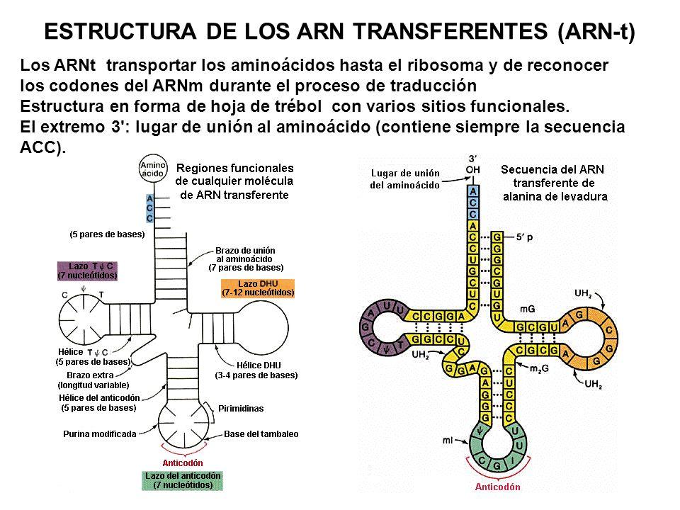 ESTRUCTURA DE LOS ARN TRANSFERENTES (ARN-t)