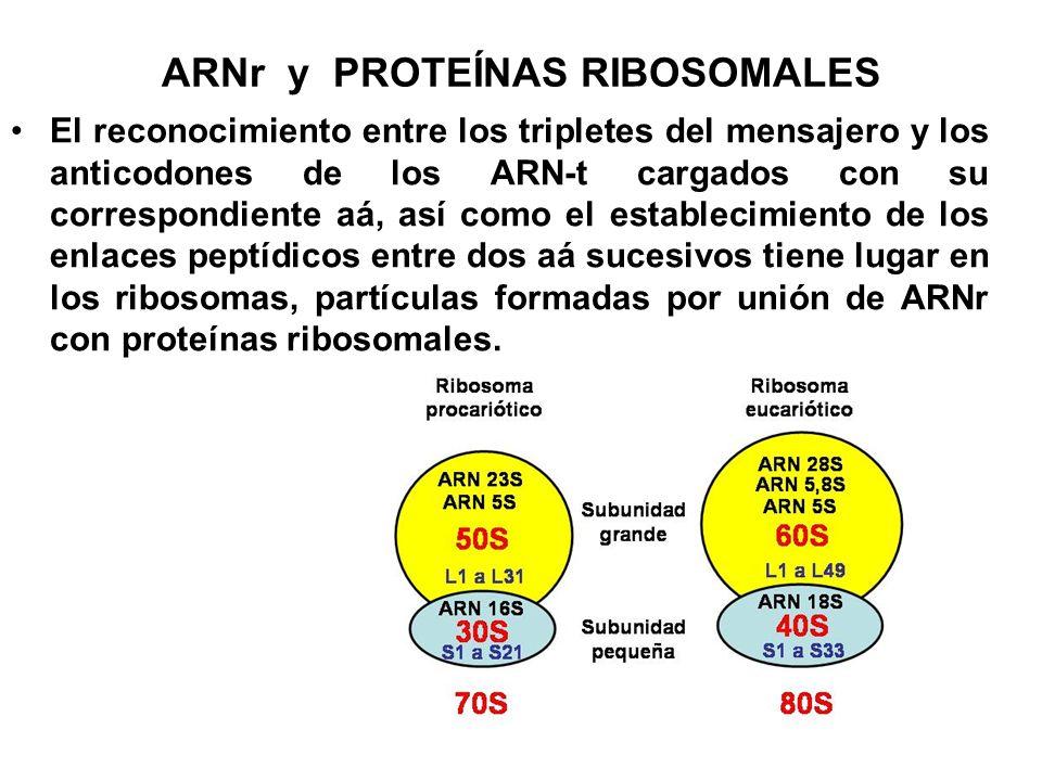 ARNr y PROTEÍNAS RIBOSOMALES