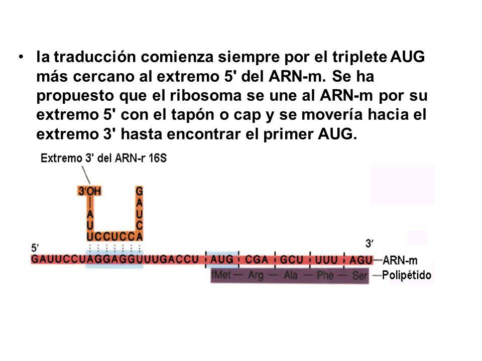 la traducción comienza siempre por el triplete AUG más cercano al extremo 5 del ARN-m.