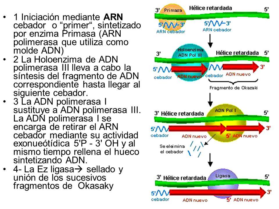 1 Iniciación mediante ARN cebador o primer , sintetizado por enzima Primasa (ARN polimerasa que utiliza como molde ADN)