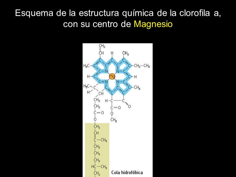 Esquema de la estructura química de la clorofila a, con su centro de Magnesio