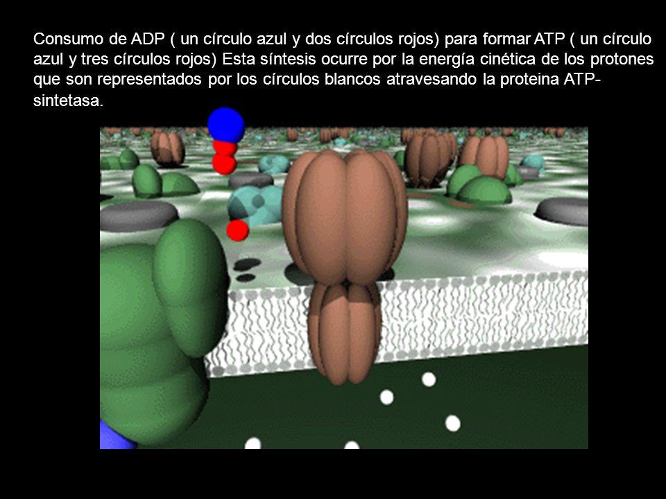 Consumo de ADP ( un círculo azul y dos círculos rojos) para formar ATP ( un círculo azul y tres círculos rojos) Esta síntesis ocurre por la energía cinética de los protones que son representados por los círculos blancos atravesando la proteina ATP- sintetasa.