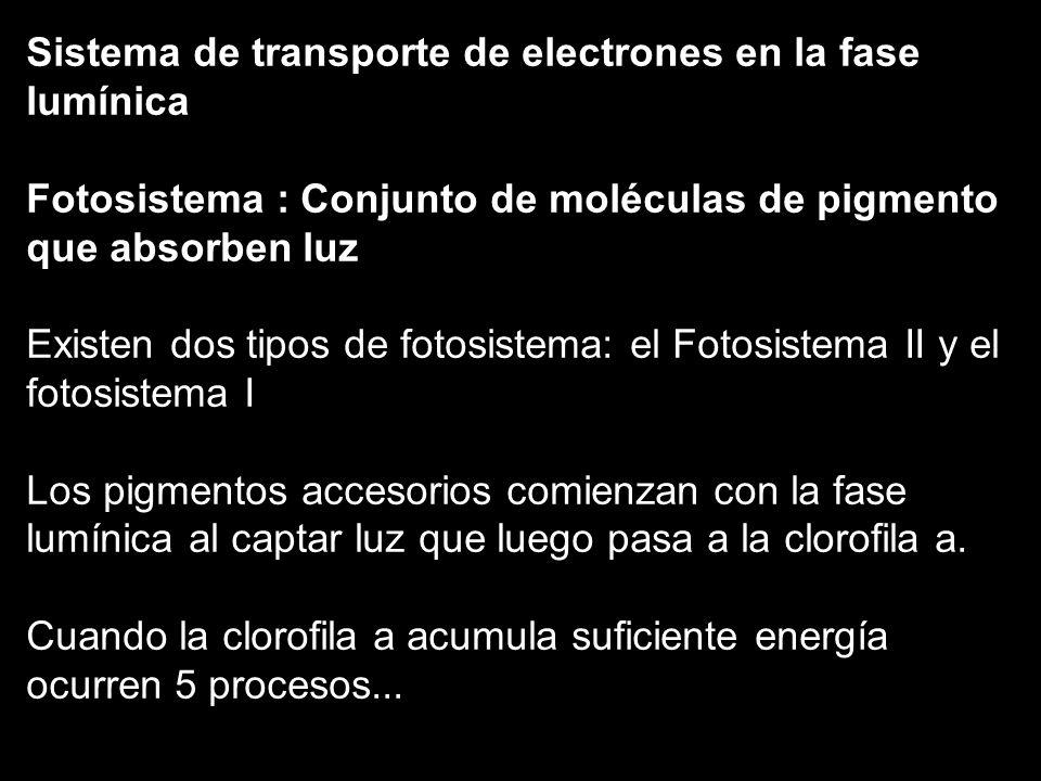 Sistema de transporte de electrones en la fase lumínica