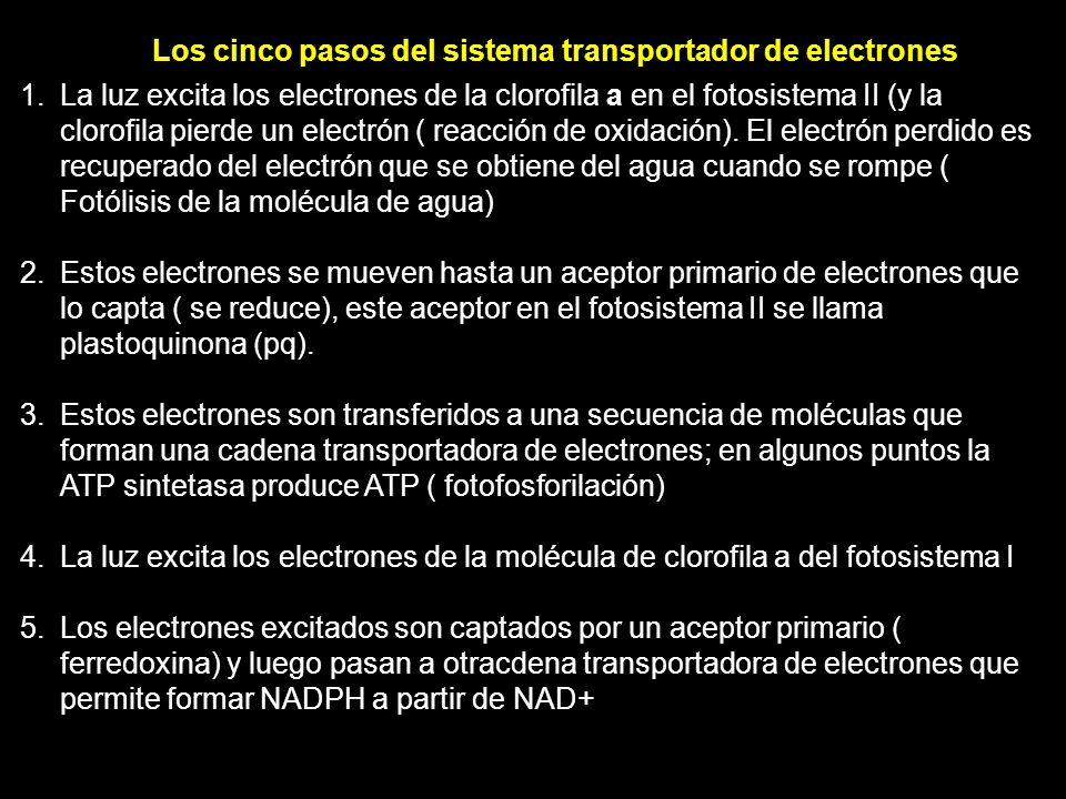 Los cinco pasos del sistema transportador de electrones